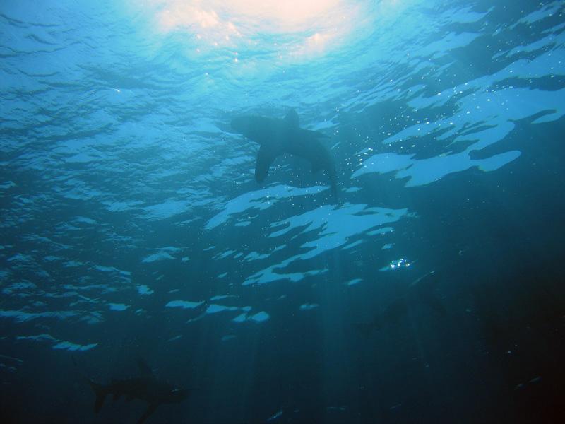 Weißspitzenhochseehai: Longimanus