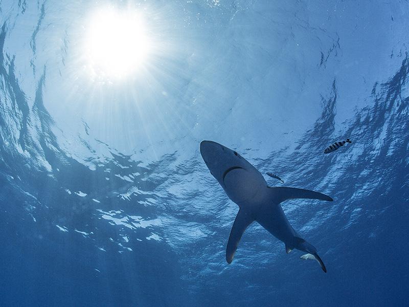 Sicher Tauchen mit Haien